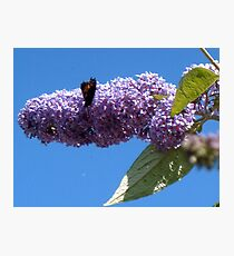 Butterfly on the Buddleja Photographic Print