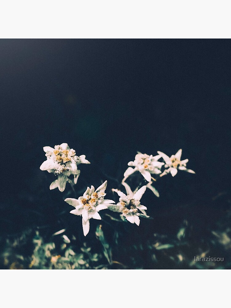 Edelweiss by larazissou