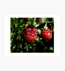 wild rasberries Art Print