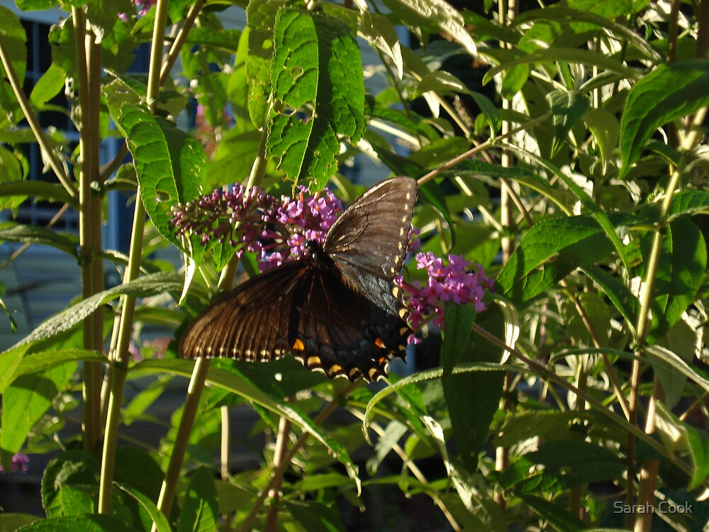 Beautiful Butterfly by Sarah Cook