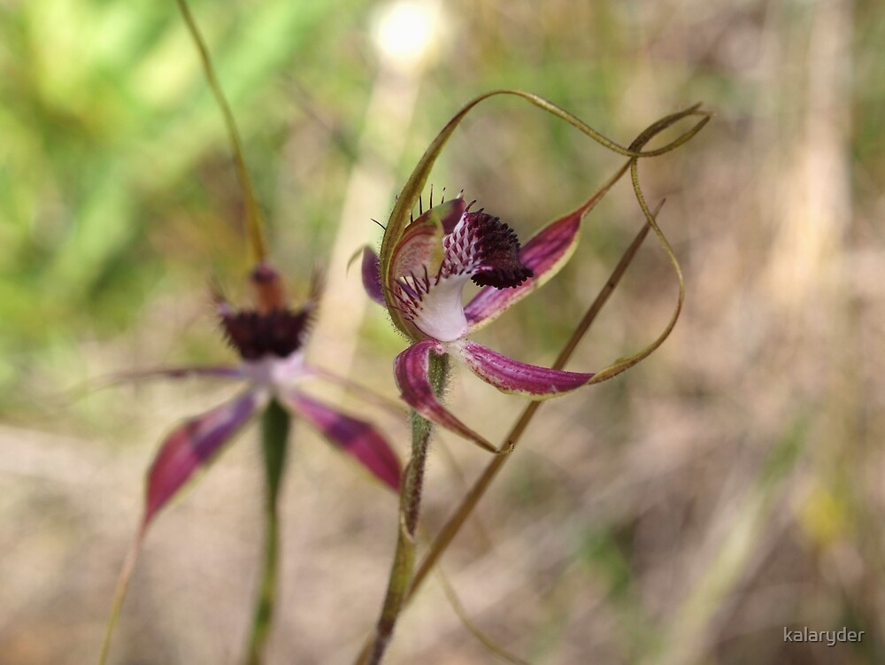 Caladenia arenicola by kalaryder