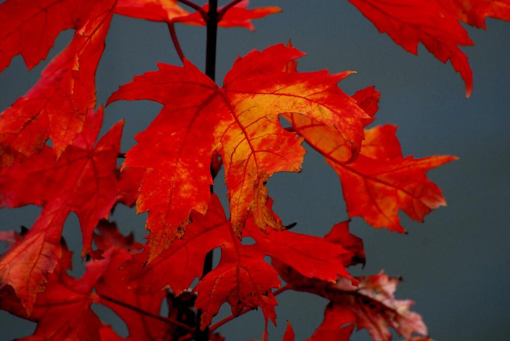 Maple leaves by Farras Abdelnour