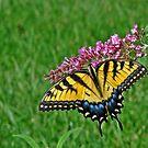 swallowtail by edlogsdon
