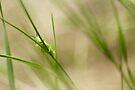 Prairie Serenader by EchoNorth