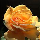 Brandy tea rose  by Susanne Schmitz