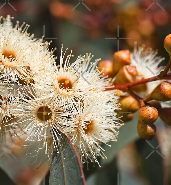 Beautiful Spring Eucalyptus Flowers by Joy Watson