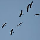 STORKS MIGRATING SOUTH OVER MY HOME by Marilyn Grimble