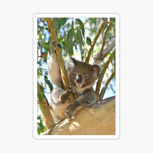 Koala relaxing in a gum tree Sticker