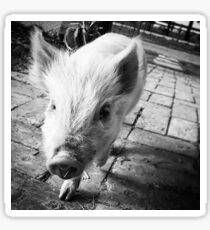 Cheeky the potbelly pig Sticker