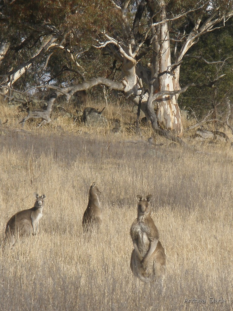 3 Kangaroos in Golden Grass  by Anthea  Slade