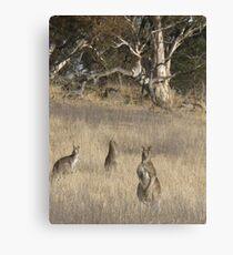 3 Kangaroos in Golden Grass  Canvas Print
