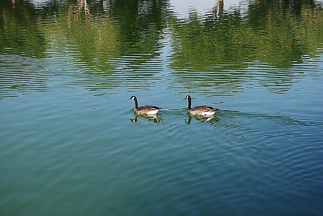 Las Vegas - Sunset Park Ducks by Will Edwards