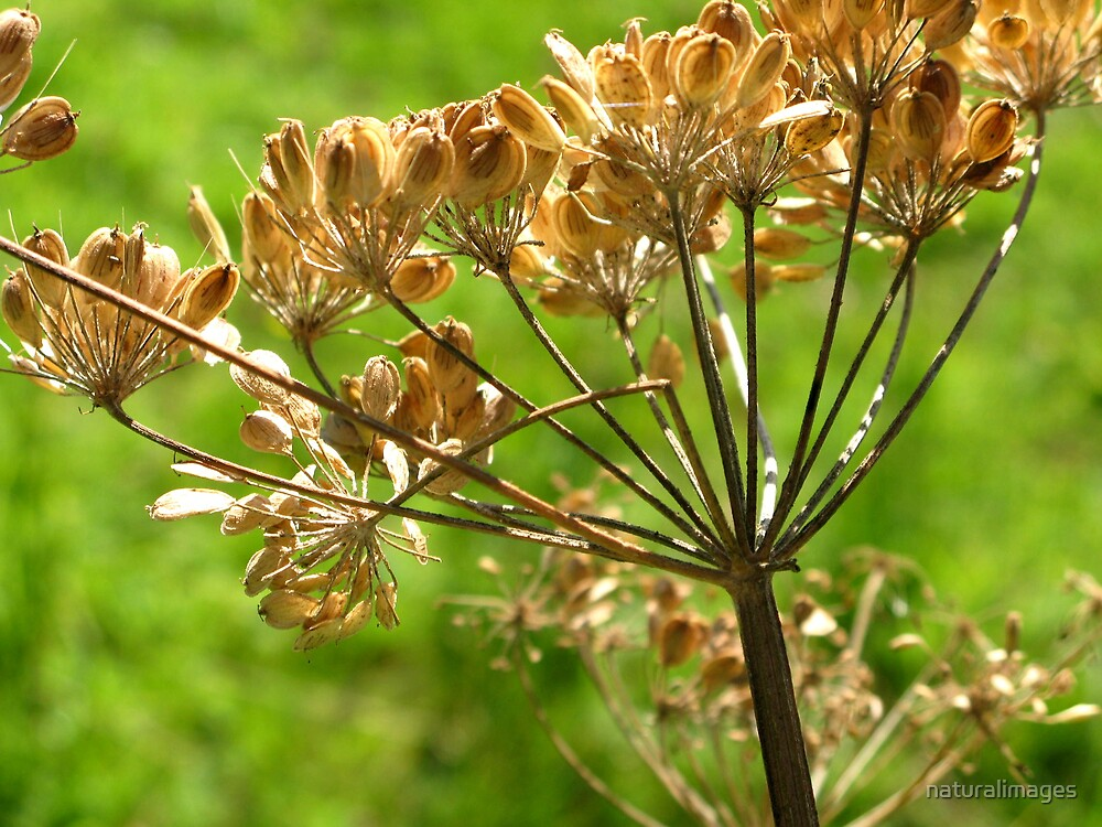 Seed head 2 by naturalimages