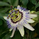 Passiflora, passion flower by 29Breizh33