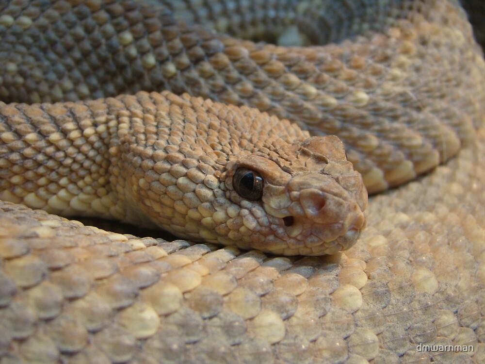 Aruba Island Rattlesnake by dmwarnman