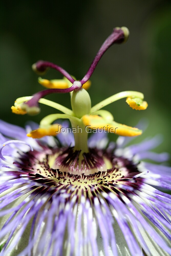 Passion Flower by Jonah Gautier