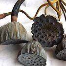 Lotus Pods by Barbara Wyeth