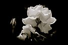 Simplicity- White rose on black by Beth Brightman