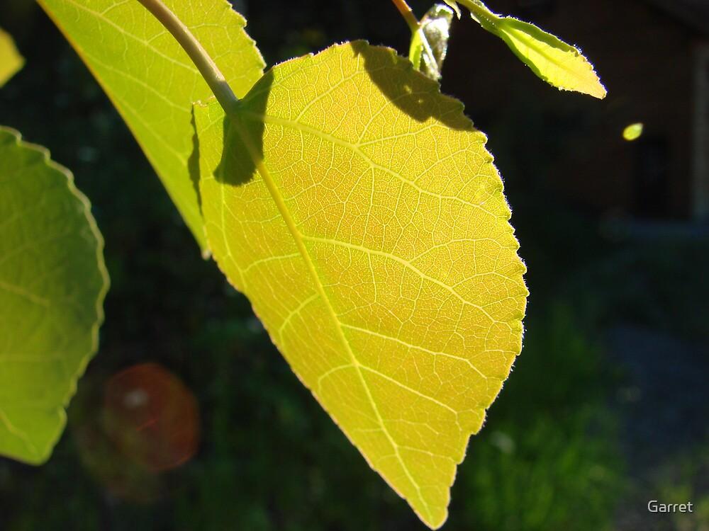 Sun Through a Leaf by Garret