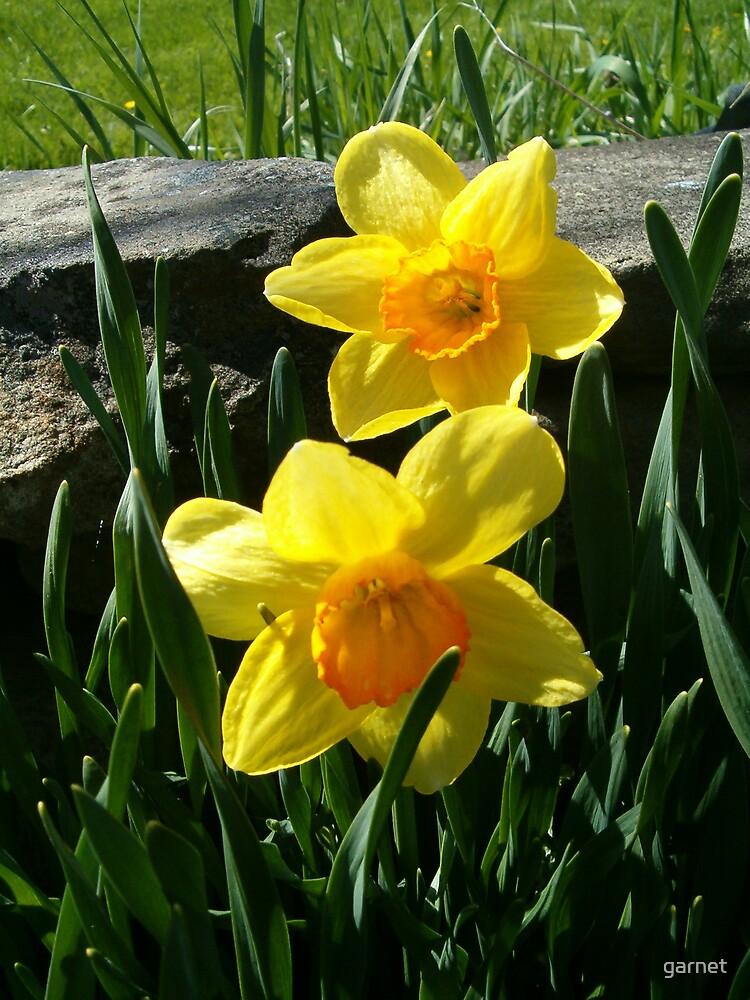 Daffodils by garnet