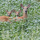 White-tailed Family 2017 by Thomas Young
