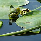 Water lillies by sticky