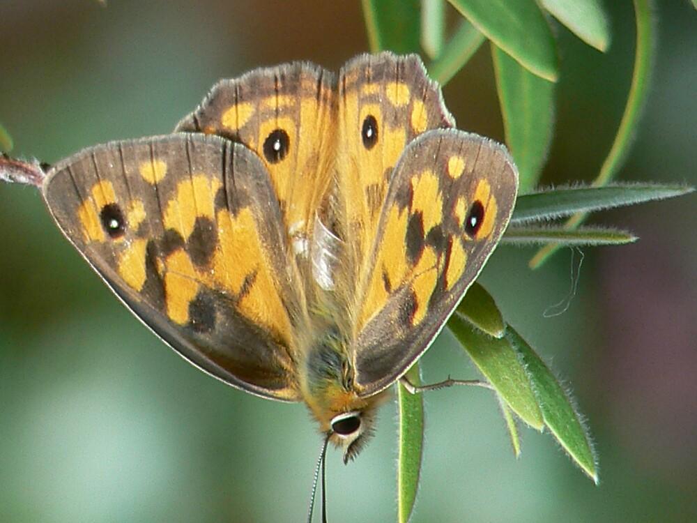 Butterfly by LashyLashla