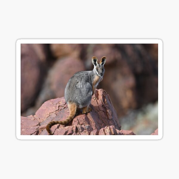 Yellow-footed Rock Wallaby 3 Sticker