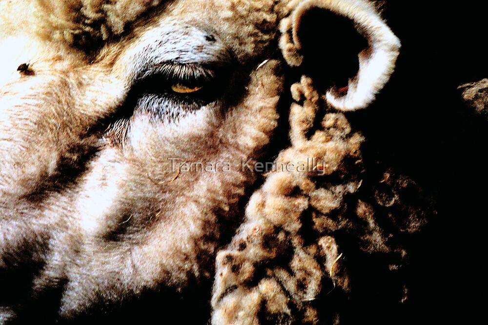 Sheep by Tamara  Kenneally