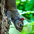 Vertical Squirrel  by Christian Sheehy