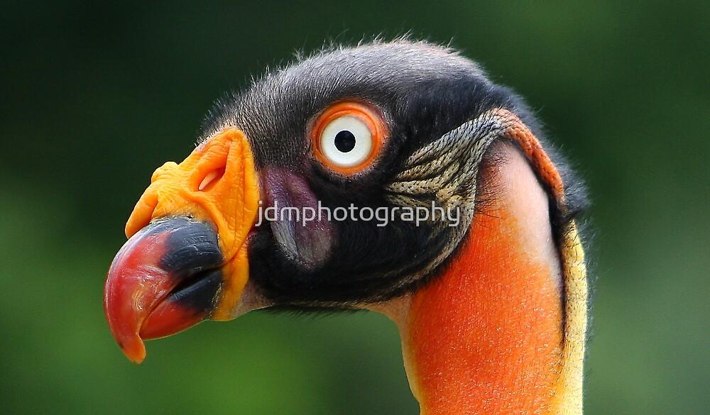King Vulture Portrait...... by jdmphotography