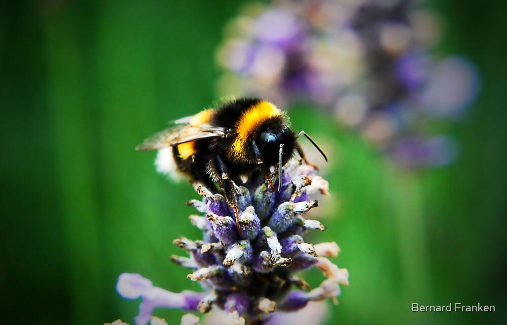 Bumble Bee by Bernard Franken