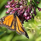 One of natures beauties - A Monarch.....!! by Roy  Massicks