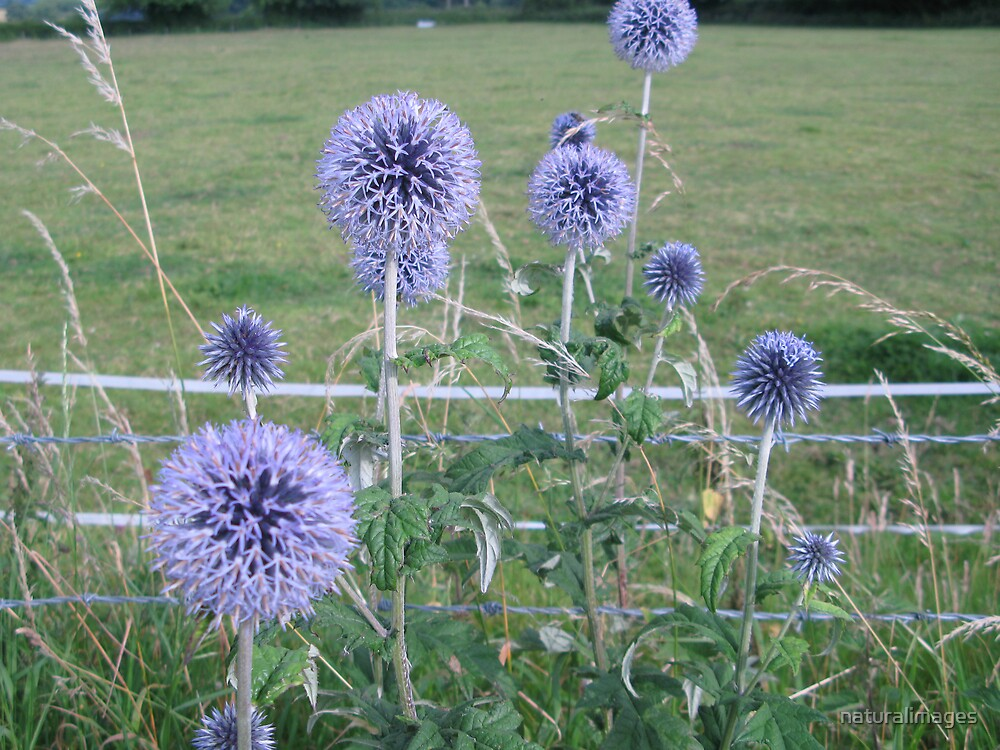 Echinops time by naturalimages