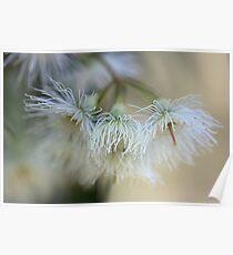 Hush - Eucalyptus Flowers  Poster