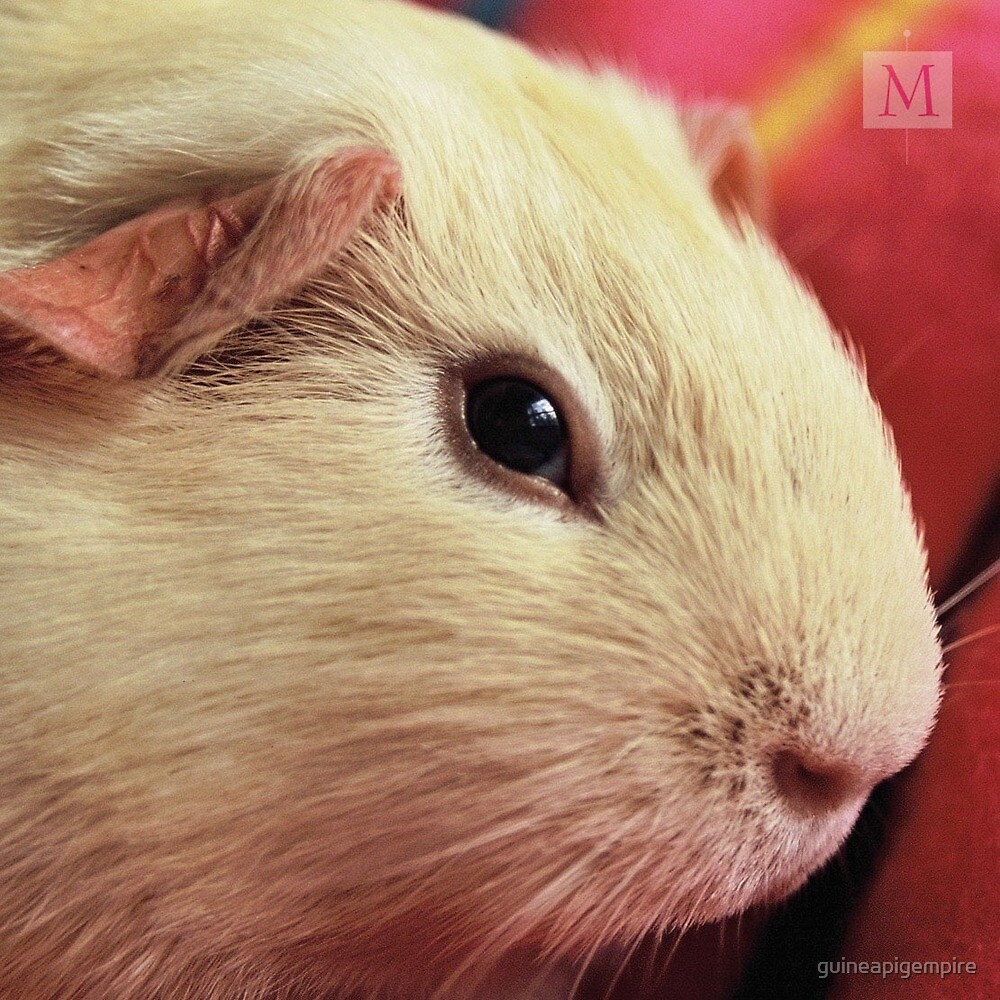 His Highness Hazel One-Eye by guineapigempire