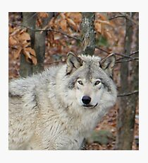 Timberwolf. Photographic Print