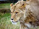 Teenage Lion by Laura Kelk