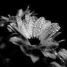 Gänseblümchen in Schwarz und Weiß von VanGalt
