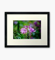 Purple Spider Flower Framed Print