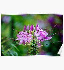 Purple Spider Flower Poster