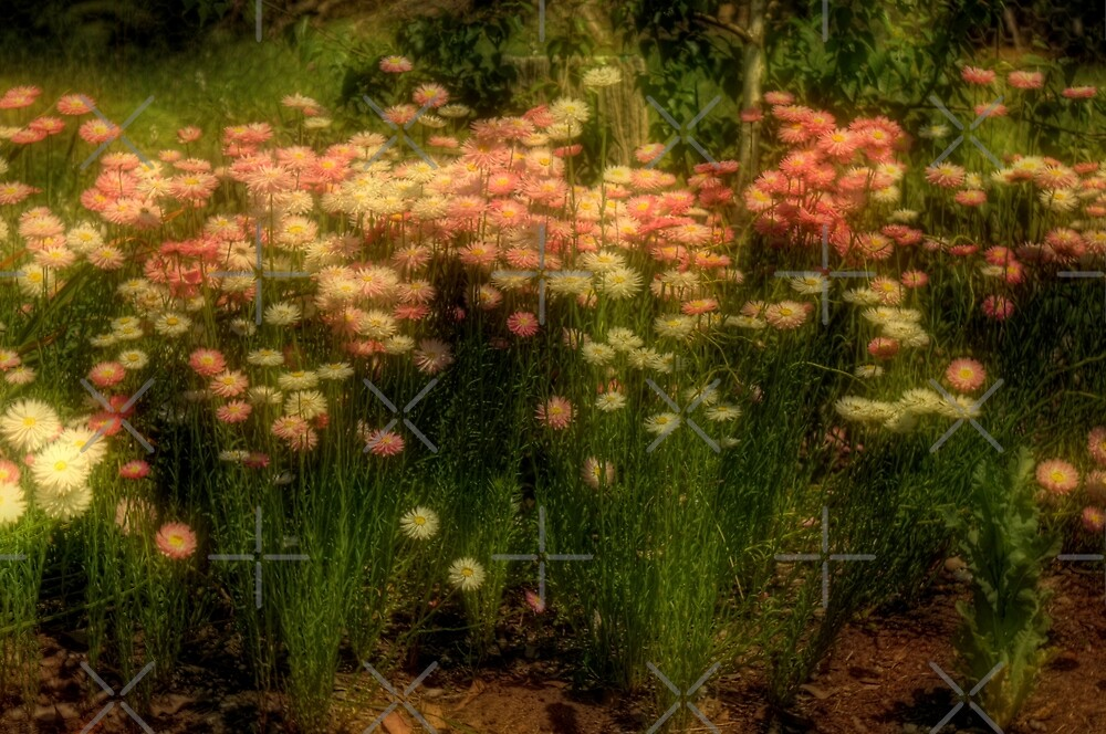 Everlastings (Helichrysum) by Elaine Teague