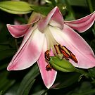 Pink Lily by Segalili