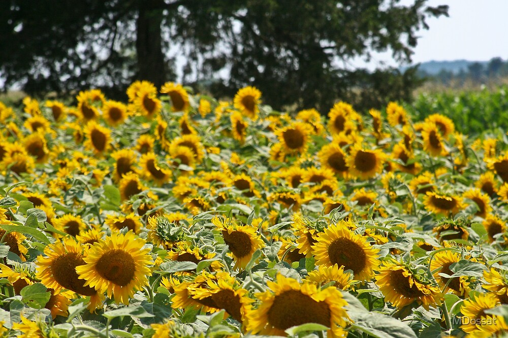 Sunflower Fields by MDossat