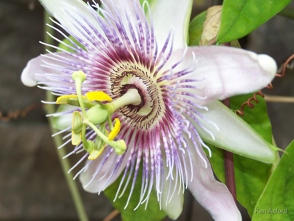 passion flower by Ken Axford