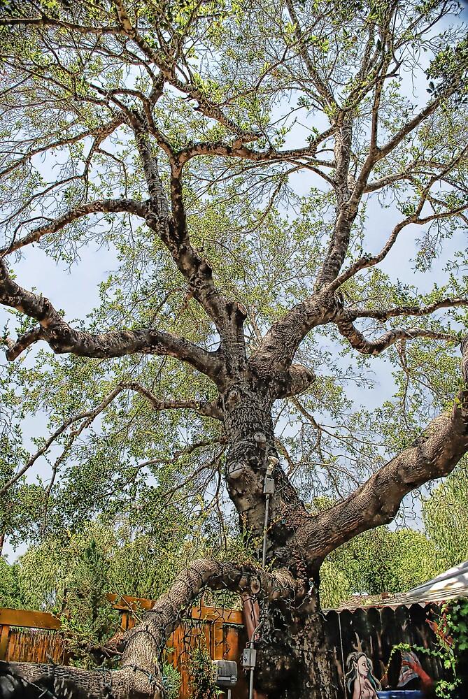 oak tree in Ojai by jef ros