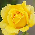 Yellow Rose by John Thurgood
