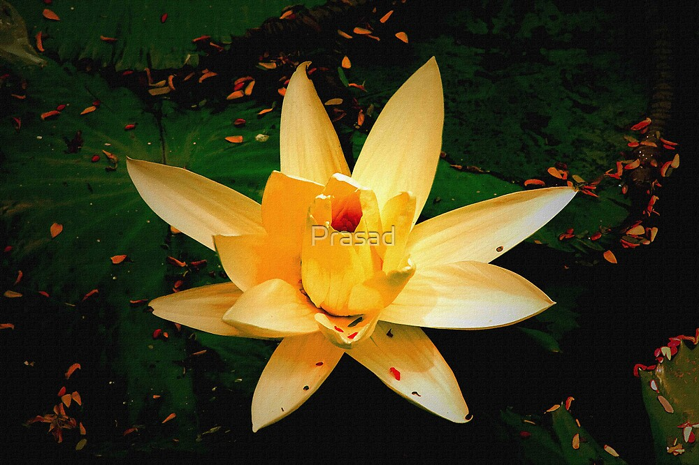 A day with water lily by Prasad