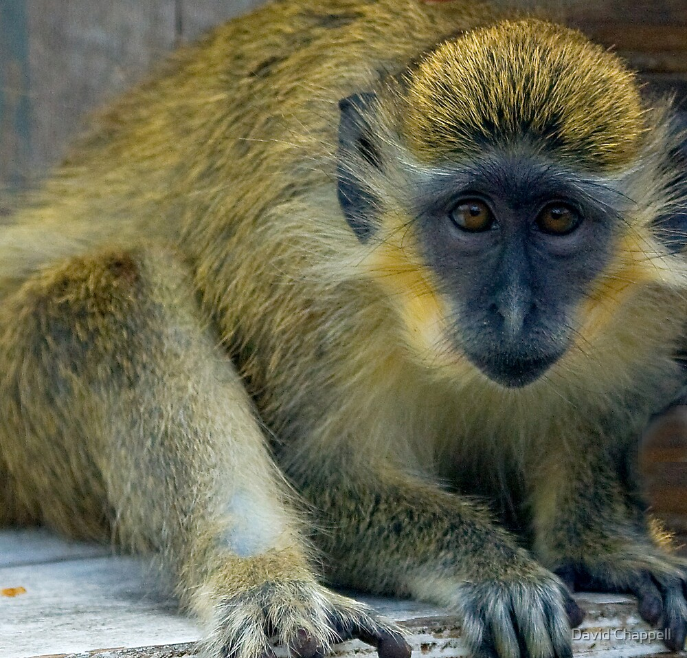 Green Monkey by David Chappell
