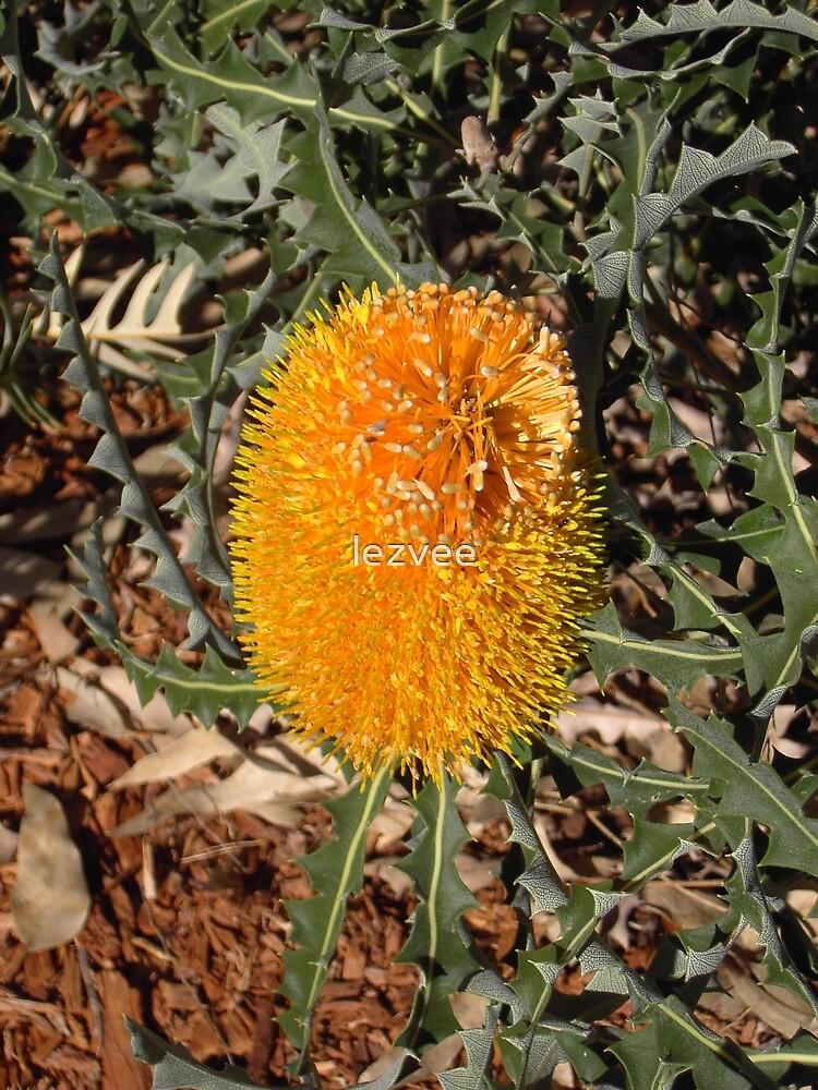 Banksia Gold  (banksia hookeriana) by lezvee